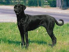 Pasma MALLORQUIN – MALORŠKI OVČAR (Majorca Shepherd Dog)