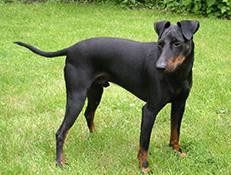 MANCHESTERSKI TERIER (Manchester Terrier)