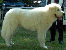 Pasma MAREMSKO ABRUŠKI OVČAR (Maremma and Abruzzes Sheepdog)