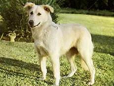 "Pasma MAROŠKI PASTIRSKI PES – ATLAŠKI OVČAR ""AIDI"" (Atlas Shepherd Dog)"