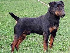 Pasma NEMŠKI LOVSKI TERIER (German Hunting Terrier)