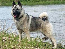 Pasma NORVEŠKI SIVI LOSOVEC (Norwegian Elkhound grey)