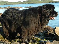 Pasma NOVOFUNDLANDEC (Newfoundland)