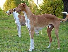 Pasma POLJSKI HRT (Chart Polski – Polish Greyhound)