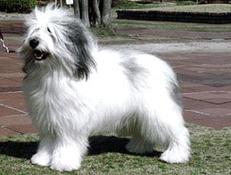 Pasma POLJSKI NIŽINSKI OVČAR (Polish Lowland Sheepdog)