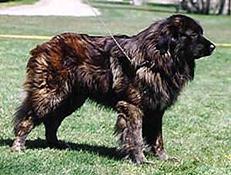 Pasma PORTUGALSKI PASTIRSKI PES ESTRELA (Serra da estrela Mountain Dog)