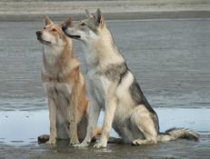Pasma SAARLOSOV VOLČJAK (Saarloos Wolfdog)