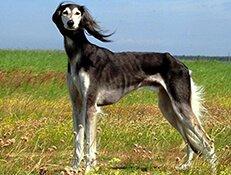 Pasma SALUKI – PERZIJSKI HRT (Arabian Hound – Gazelle Hound)