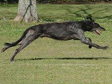 Pasma ŠKOTSKI JELENAR (Deerhound)