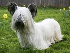 Pasma SKYE TERIER (Skye Terrier)