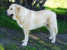 Pasma ŠPANSKI MASTIF (Spanish Mastiff)
