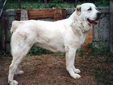 Pasma SREDNJEAZIJSKI OVČAR (Central Asia Shepherd Dog)