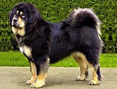 Pasma TIBETANSKI MASTIF (Tibetan Mastiff Do-Khyi)