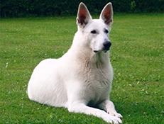 FCI nepriznane pasme - Ostale pasme, Ameriški beli ovčar