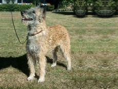 Pasma BELGIJSKI OVČAR LAEKENOIS (Belgian Shepherd Dog – Laekenois)