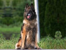 Pasma BELGIJSKI OVČAR TERVUEREN (Belgian Shepherd Dog – Tervueren)