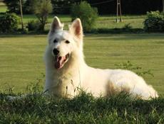 Pasma BELI ŠVICARSKI OVČAR (White Swiss Shepherd Dog)