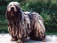 Pasma BERGAMSKI OVČAR (Bergamasco Shepherd Dog)