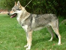 Pasma ČEHOSLOVAŠKI VOLČJAK (Czeslovakian Wolfdog)