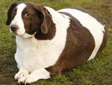 Debelost, vzroki za debelost ter ugotavljanje debelosti pri psu
