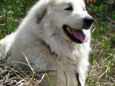 Pirenejski planinski pes - Le Patou