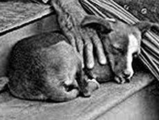 HAVAJSKI POI (Hawaiian Poi Dog)