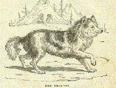 INDIJANSKI HARE (Hare Indian Dog)