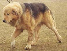 Indijski Banjara Mastif