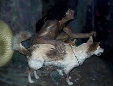 KURI (Polinesian Dog)
