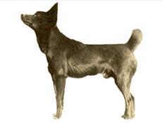 MEDVEDJI PES TAHLTANA (Tahltana Bear Dog)