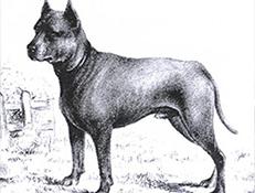 MODRI PAVLOV TERIER (Blue Paul Terrier)