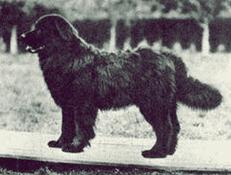 MOSKOVSKI VODNI PES (Moscow Water Dog)