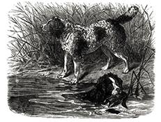 NORFOLŠKI ŠPANJEL (Norfolk Spaniel)
