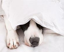 Strah pred hrupom pri psih, Pes pod rjuho