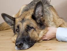 Težko dihanje psa – Pnevmotoraks?