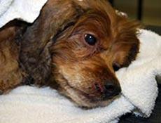 Pregretost ali podhladitev pri psu