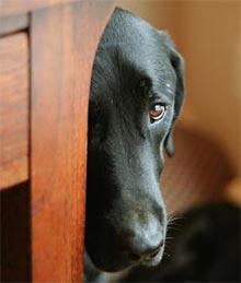 prestrašen pes