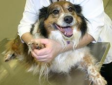 Prva pomoč ob poškodbi pasjih tačk