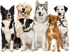 Razvrščanje pasem psov