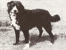 SMITHFIELD OVČARSKI PES (Smithfield Dog)