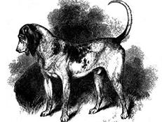 STAROANGLEŠKI JUŽNI PES (Southern Hound)