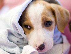 Toplotni udar, vročinski udar, sončarica, vročinska kap pri psu