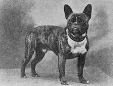 TOY BULDOG (Toy Bulldog)