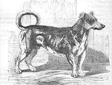 TURNSPIT (Turnspit Dog)